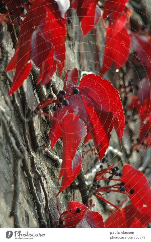 Weinlaub Herbst Mauer Weinblatt rot Blatt Unschärfe Winter Wilder Wein Sonntag Wurzel Ast Beeren Sonne sonntag nachmittag Spaziergang Traurigkeit