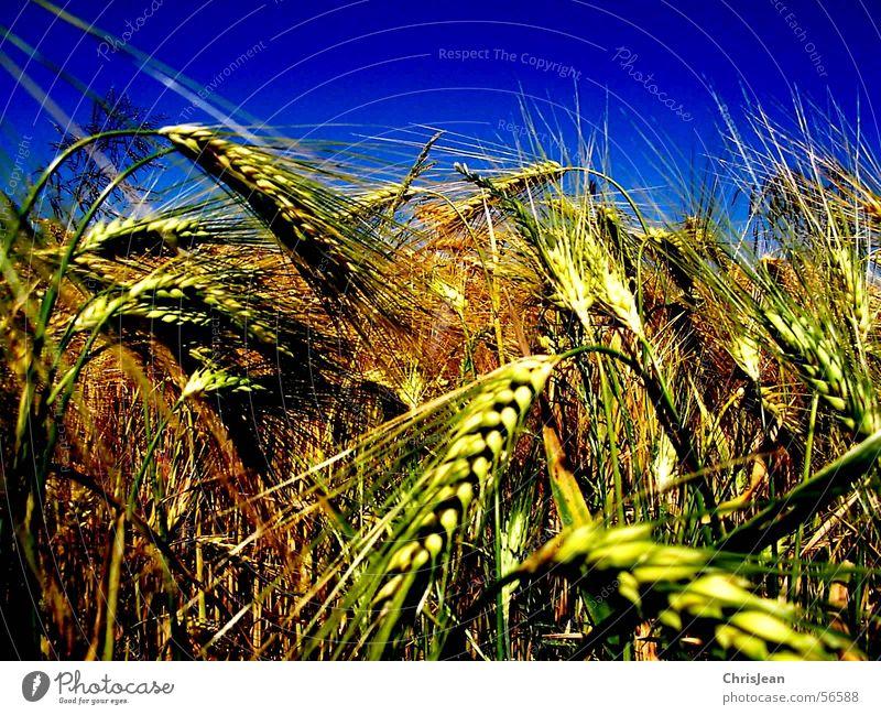 Titellos blau gelb Landschaft Feld Getreide Amerika Ernte Blauer Himmel Weizen Ähren Ebene Gerste stechend Niederrhein Feldarbeit