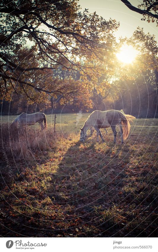 horses like in a fairy tale Sonnenlicht Herbst Schönes Wetter Baum Gras Wiese Pferd 2 Tier Essen füttern stehen Freundlichkeit Glück Neugier braun gold grün