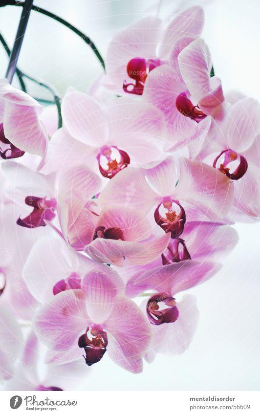Catasetum Joao Stivalli Natur weiß Blume Pflanze rosa Romantik bleich Orchidee