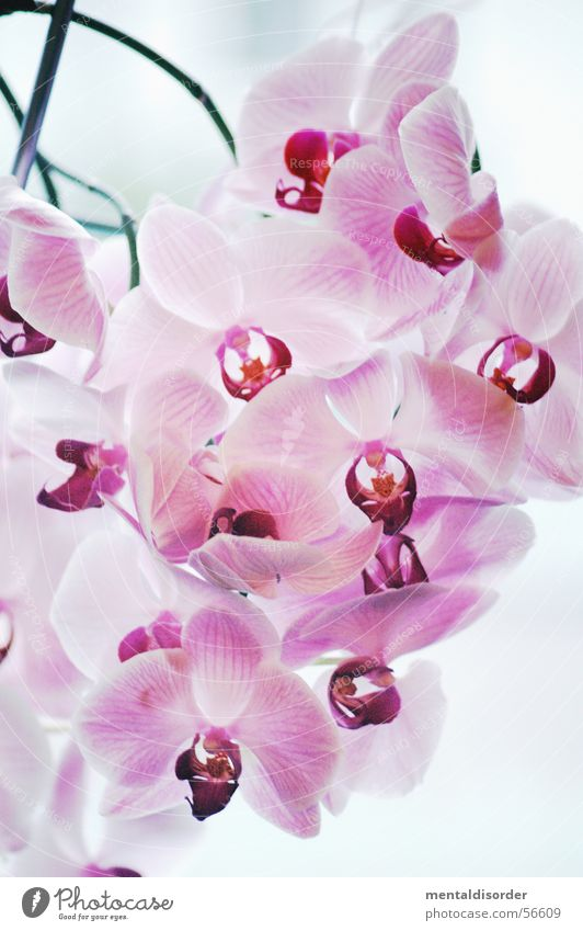 Catasetum Joao Stivalli Orchidee Blume Pflanze rosa weiß Romantik Natur bleich flower blooms blossoms flowers orchid orchids oriental plants romance white