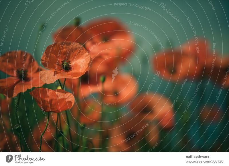 Mohnblumen auf Sommerwiese blau grün Sonne rot Blume Wiese Gras Garten Feld Idylle Blühend sommerlich Blumenwiese friedlich