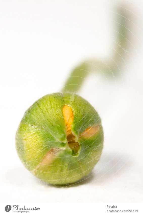 Kleines Blüten-Baby weiß Pflanze Blume grün gelb Blütenknospen Vor hellem Hintergrund