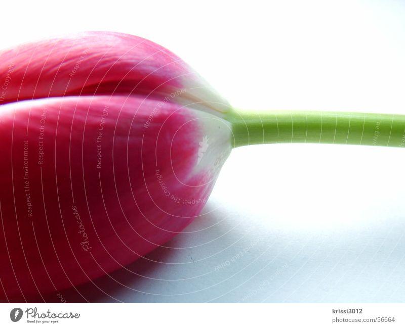 frühjahrsbote no.1 Pflanze grün weiß Blume Blatt Frühling Blüte springen rosa Stengel Tulpe