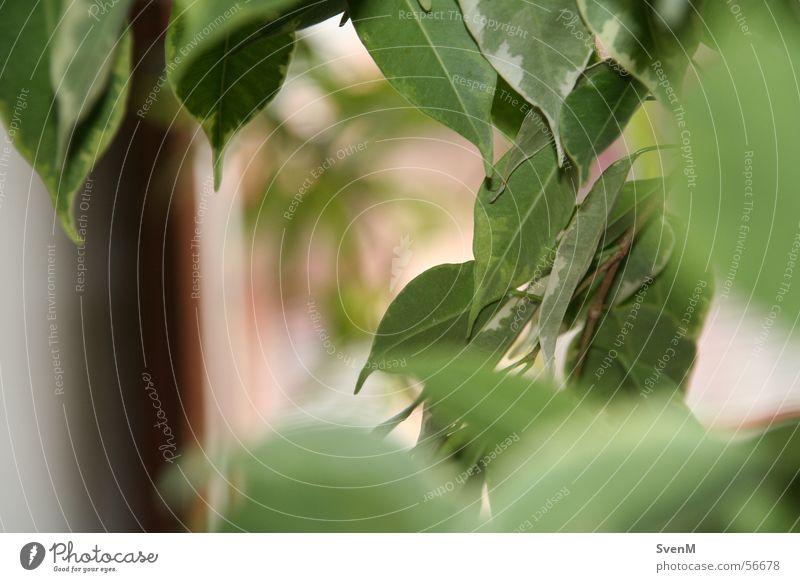 Durchblick Blatt Blüte grün Feige Birkenfeige Pflanze Zimmerpflanze