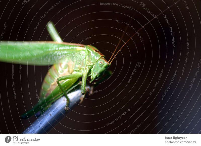 Flip der Hüpfer Wiese Heuschrecke Halm Gras Heimchen Insekt Natur