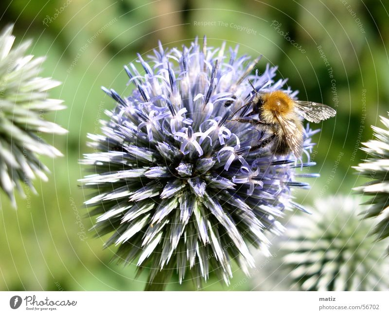Bienenkugel Distel Sommer Makroaufnahme Natur