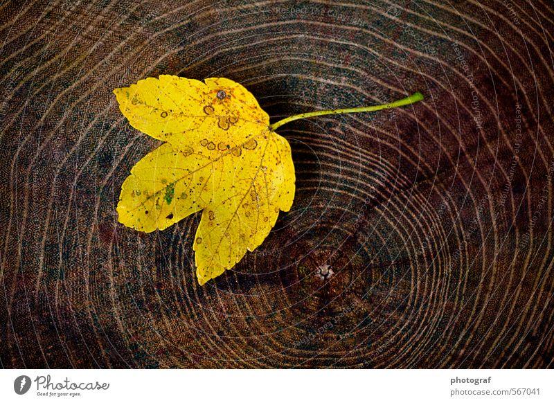 Ahornblatt auf Holz Sommer Sonne Blatt Freude gelb Traurigkeit Gefühle Herbst Tod Frühling Stil Glück braun Mode Stimmung