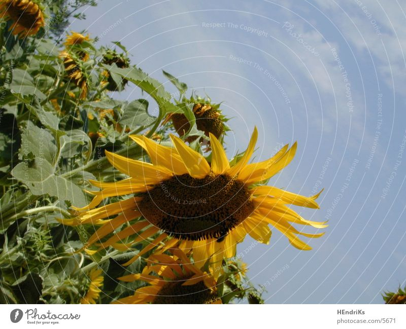 sunflowers Natur Pflanze Sonnenblume