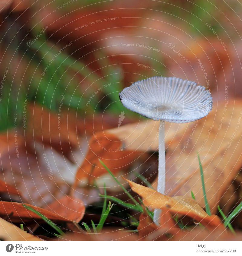 Überbleibsel vom Herbst... Umwelt Natur Pflanze Gras Blatt Pilz Herbstlaub Park liegen stehen dehydrieren Wachstum ästhetisch klein natürlich trocken braun grau