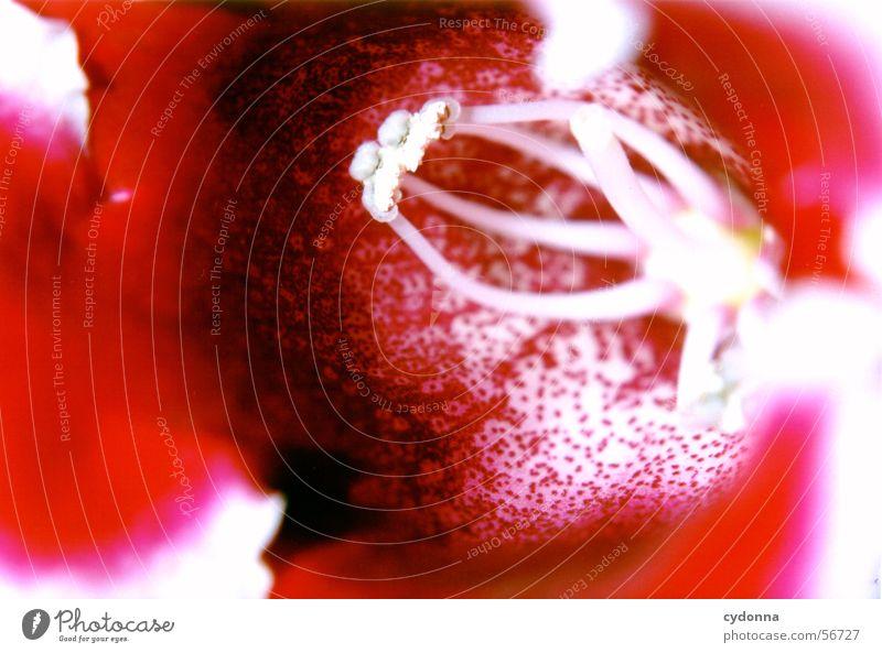 flower power Natur schön rot Pflanze Blume Blüte Wachstum Vergänglichkeit reif Pollen prächtig Reifezeit