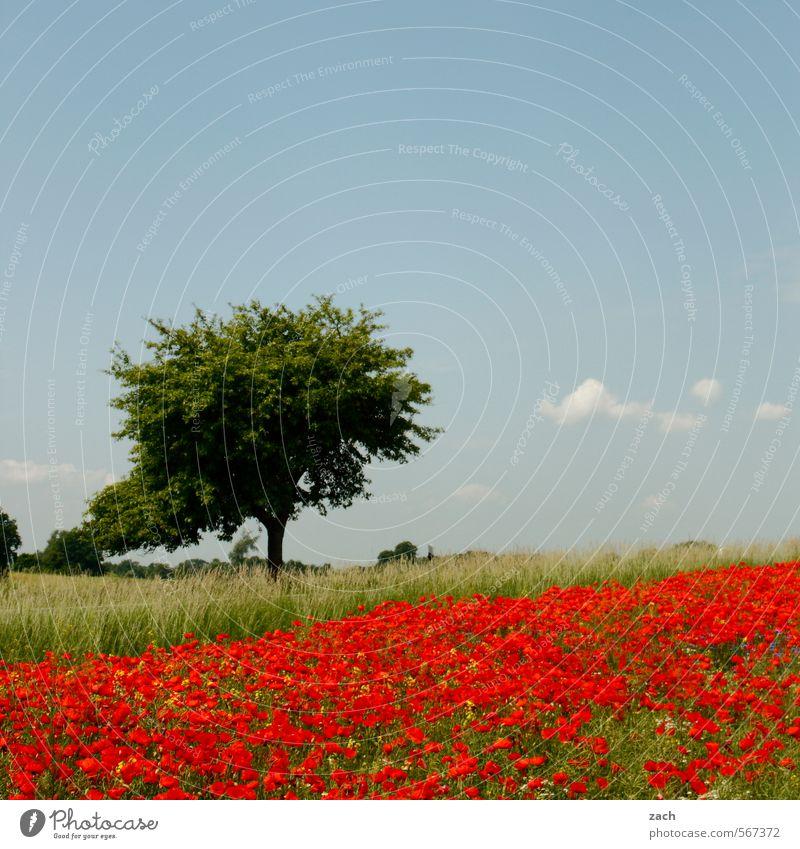 wie sich Frühling anfühlt Erholung Ausflug Umwelt Natur Landschaft Pflanze Himmel Sommer Schönes Wetter Baum Blume Gras Blüte Mohn Mohnblüte Mohnfeld Wiese Feld