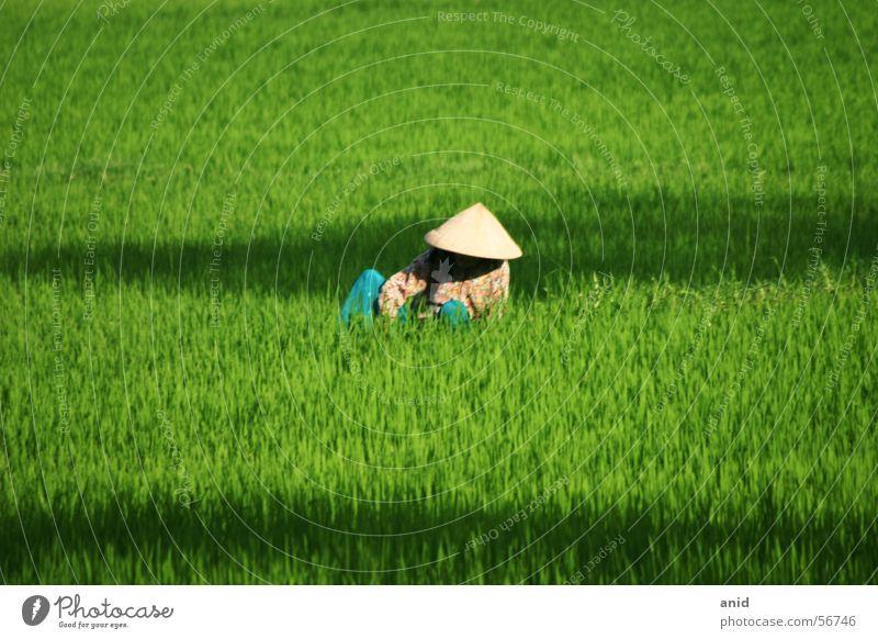 cơm - reis grün Asien China Landwirt Thailand Reis Vietnam Bali Indonesien Laos Kambodscha Reisfeld Reisbauer