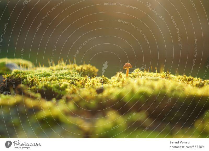 Emporkömmling Herbst Pflanze Moos hell klein Pilz Pilzhut Schirm herausragen einzeln feucht Spinngewebe grün braun grau Wachstum Sonne linsenreflex Farbfoto