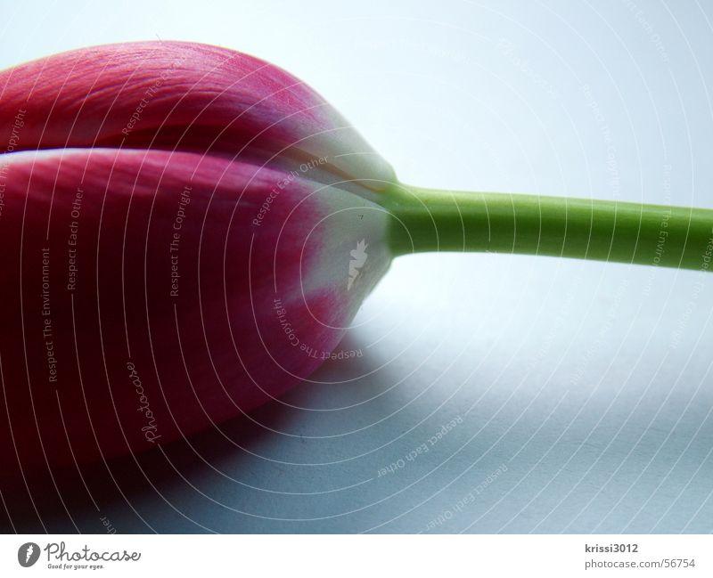 frühjahrsbote no.3 Tulpe rosa weiß Blüte Stengel grün Blatt Frühling Blume Pflanze springen leaf white flower