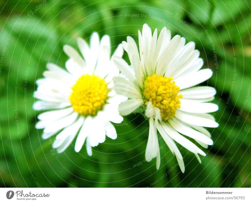 Gänseblümchen Blume Blüte Wiese Sommer grün gelb flower flowers Makroaufnahme Detailaufnahme Nahaufnahme Natur