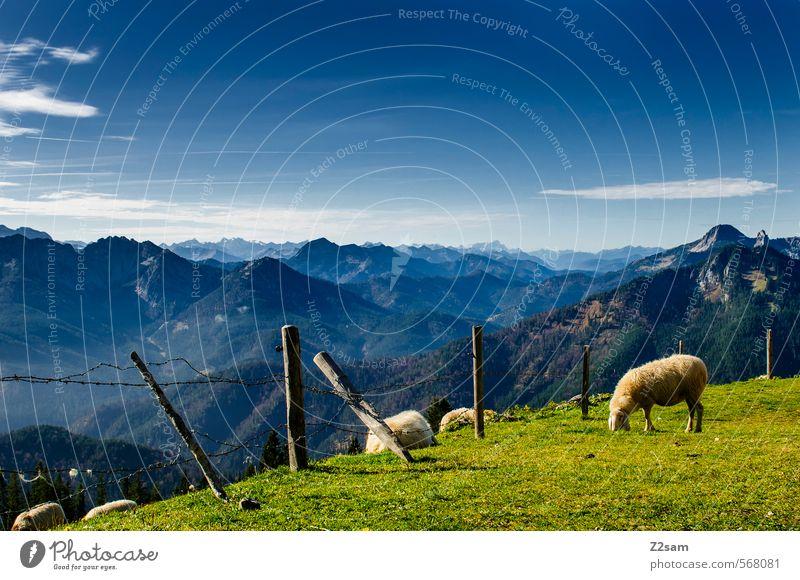 eher so gemütlich! Ausflug Berge u. Gebirge wandern Natur Landschaft Himmel Herbst Schönes Wetter Wiese Alpen Gipfel Schaf Fressen stehen nachhaltig natürlich