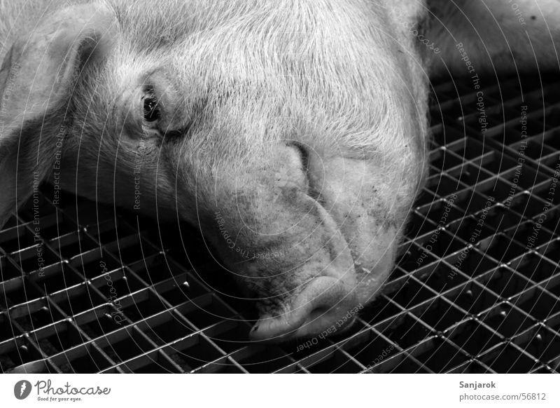 Das Leben ist schön Auge Tod Trauer Handwerker Blut Fleisch Gitter Schwein töten Metzger Metzgerei Ladengeschäft brutal Schlachthof Schweinerei Schlachtung