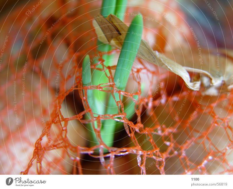 Netzpflanze grün Pflanze Lebensmittel orange Wachstum Küche Netz Schalen & Schüsseln Zwiebel Jungpflanze Zutaten Durchbruch Keim Zwiebelschale Zwiebelkeimling