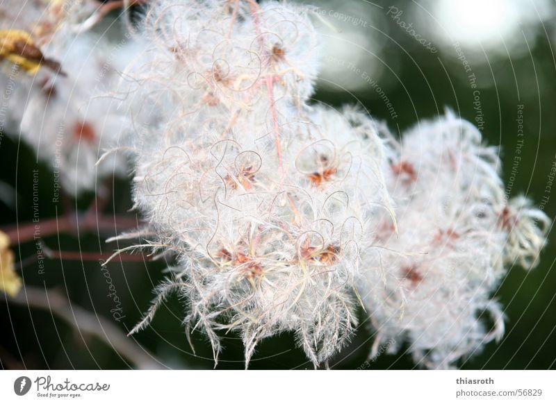 Die Schönheit des Hässlichen Herbst mehrfarbig Pflanze Blüte schön Vergänglichkeit Denken Wollgras Baum Blühend Makroaufnahme Außenaufnahme schlechtes Wetter