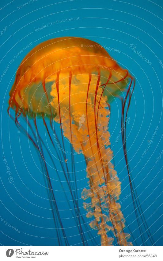 Australischer Jellyfish Qualle Meer Gift gefährlich Tier jellyfisch stinger blau bedrohlich Kontrast