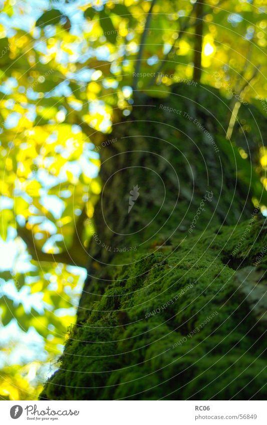 Baumbart Natur Baum Pflanze Blatt Moos Baumrinde