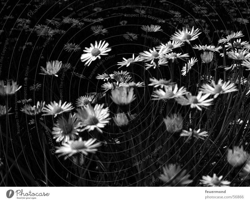 Frühlingsgefühle in schwarz-weiß Gänseblümchen Blüte Blume Wiese Sommer Gras Schwarzweißfoto daisy bloom