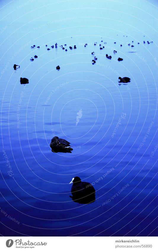 Gesunde Vögel blau Meer Winter See Vogel Ente Vogelgrippe