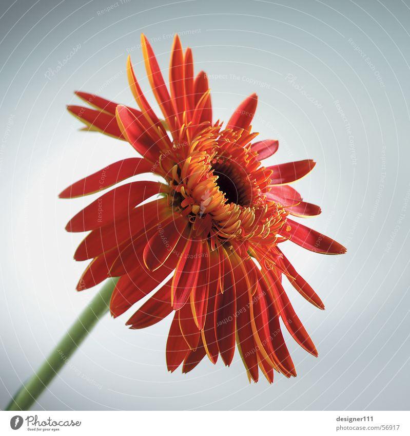 Gerbera im Studio Blume Wiese Natur Digitalfotografie