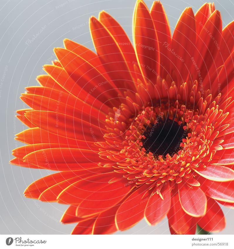Gerbera Natur Blume rot Wiese Digitalfotografie Muttertag