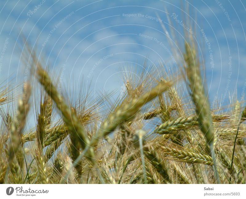 kornfeld2 Himmel Wolken Getreide Kornfeld Weizen