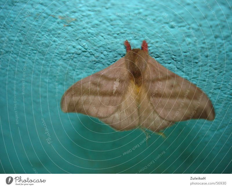 Moth Motte Wand Insekt Licht Nacht Schmetterling Tier Flugtier Fühler Schädlinge braun moth exotisch Flügel Schatten turkis