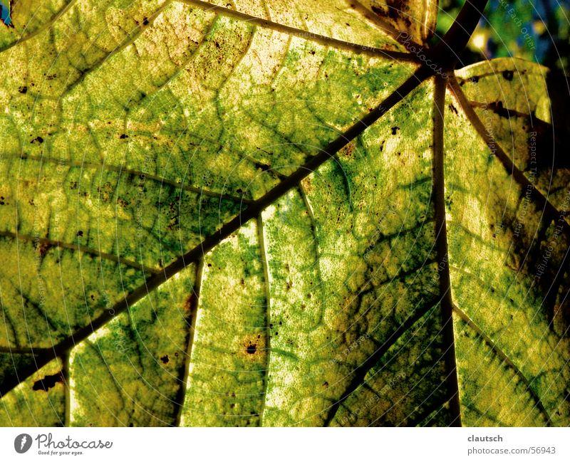 blattstruktur Natur grün Blatt gelb Herbst Gefäße