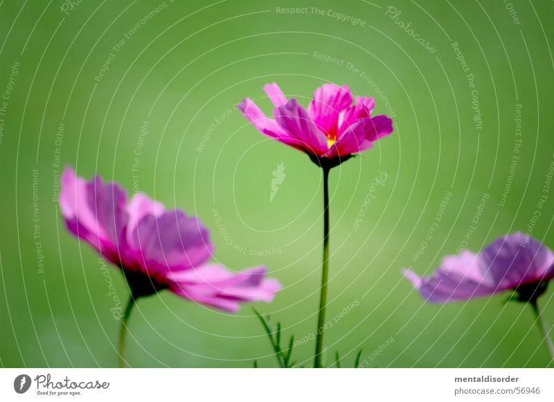 blurred green & sharp violet Natur Blume grün Pflanze Blatt Blüte rosa Hintergrundbild 3 Romantik violett Orchidee