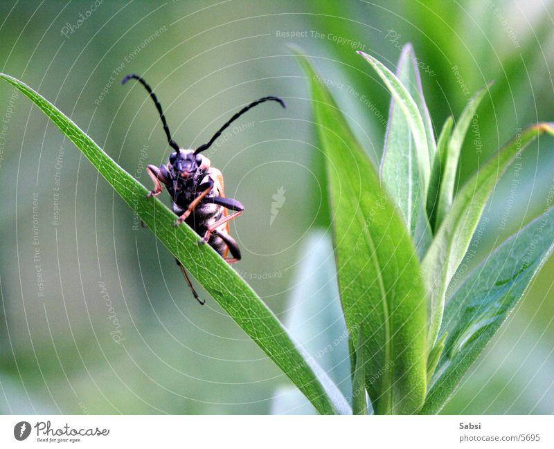 flotter käfer Blatt Halm Käfer Fühler
