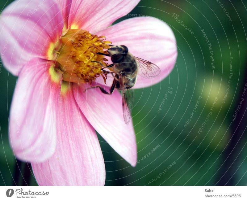 honigsammler Biene Blume Blüte Insekt Honigbiene Flügel Makroaufnahme