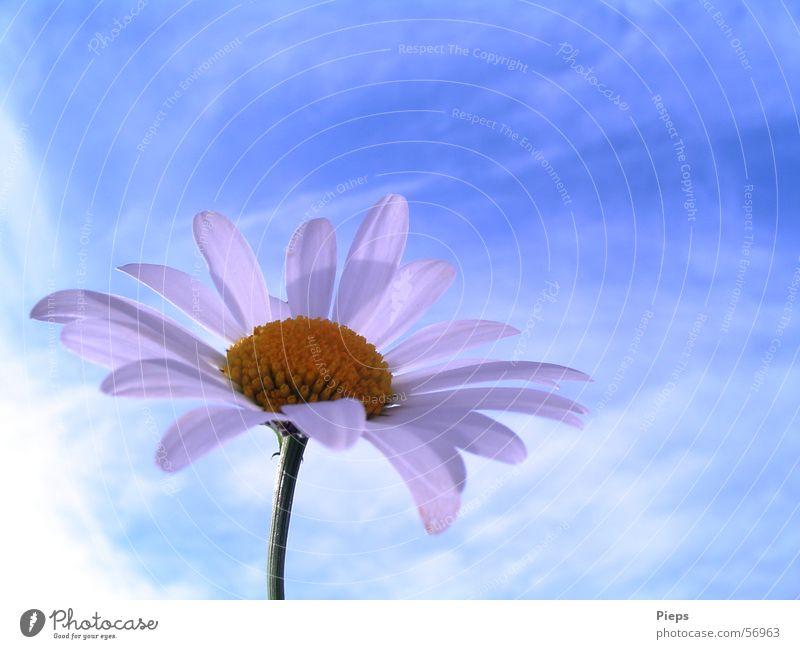 Wiesen-Topmodel Natur Himmel Blume blau Sommer Wolken Blüte Frühling Vergänglichkeit Blühend Margerite Blütenblatt