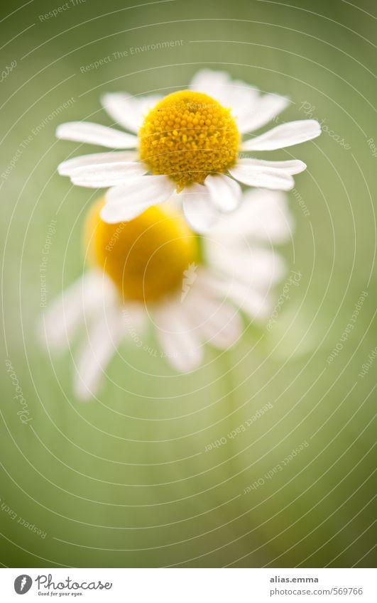 t{w}o.gether Kamille 2 Blume Verbundenheit grün Natur Kamillenblüten Blüte zart weiß rein Zusammenhalt Alternativmedizin naturheilverfahren Medikament
