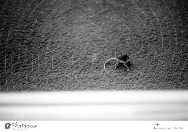 Aus die Maus | Punktsieg Wildtier Totes Tier Mauseschwanz Hinterteil 1 liegen klein trist Gefühle Stimmung Mitgefühl Tod Ekel Ende Leben Natur Überleben Opfer