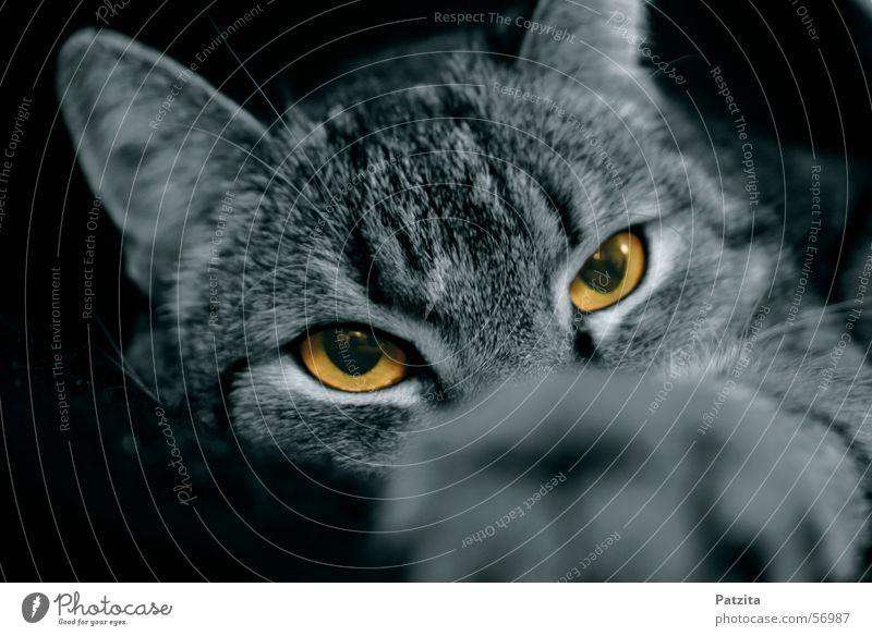 what eyes 1 schwarz Auge Tier Katze
