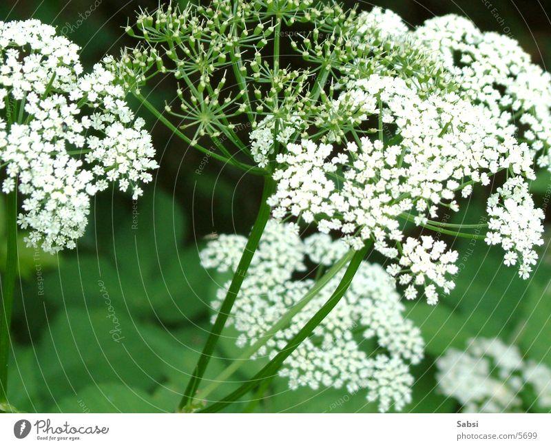 blütentraum in weiß Blume Blüte grün Makroaufnahme