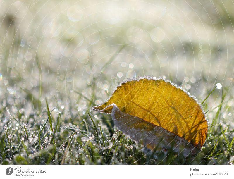 Winterzauber... Umwelt Natur Pflanze Eis Frost Gras Blatt Grünpflanze Blattadern Garten Wiese glänzend leuchten liegen ästhetisch außergewöhnlich schön kalt