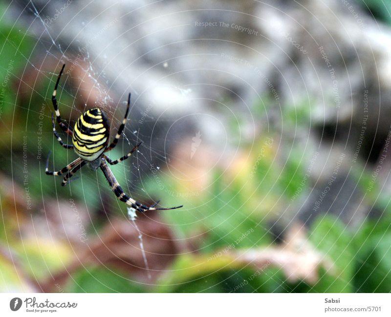 Wespenspinne Spinne Spinnennetz Insekt gestreift Beine Makroaufnahme