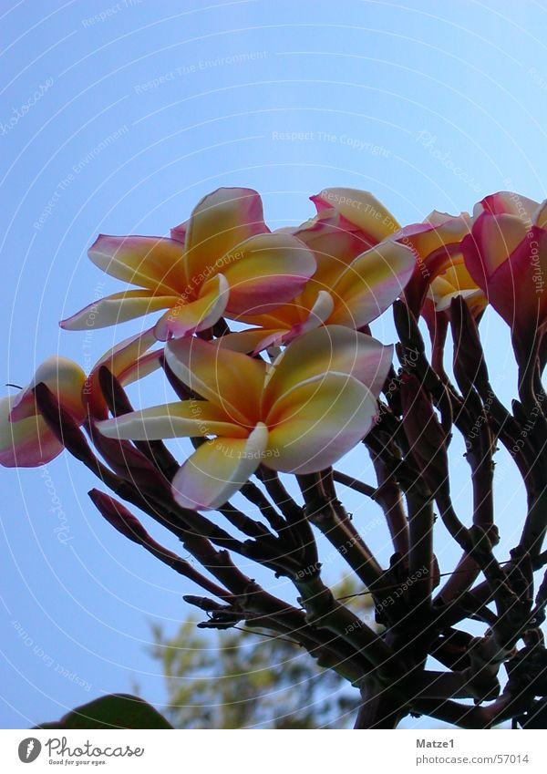 Blumenstrauß schön Himmel blau Pflanze Amerika exotisch Thailand