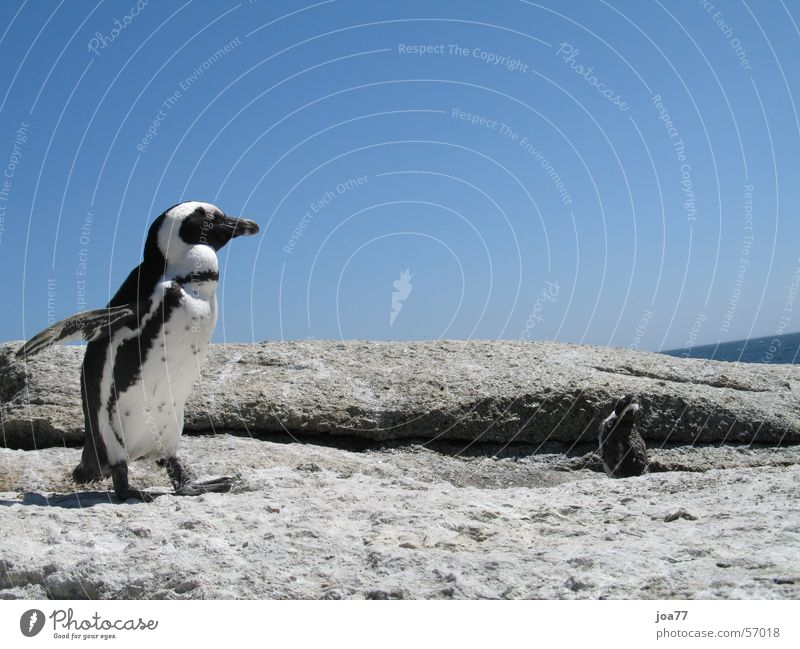 Dancing Pinguin Himmel blau Tanzen Afrika Südafrika Cape Of Good Hope Simon's Town