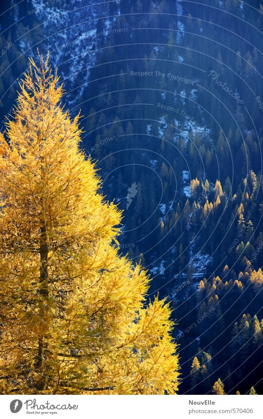 Goldener Herbst. Natur Landschaft Sonne Winter Wetter Schönes Wetter Schnee Baum Tanne Wald Hügel Berge u. Gebirge außergewöhnlich Freundlichkeit groß kalt