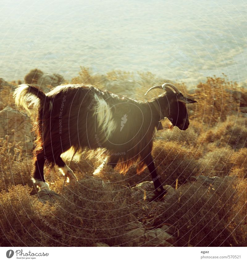 Bergziege weiß Landschaft Tier gelb Umwelt grau braun orange frei Abenteuer Nutztier