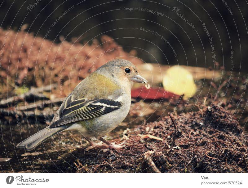 Futterneid Natur Tier Erde Herbst Wildtier Vogel Buchfink 1 Fressen klein braun gelb Feder Farbfoto mehrfarbig Außenaufnahme Menschenleer Tag Licht Kontrast