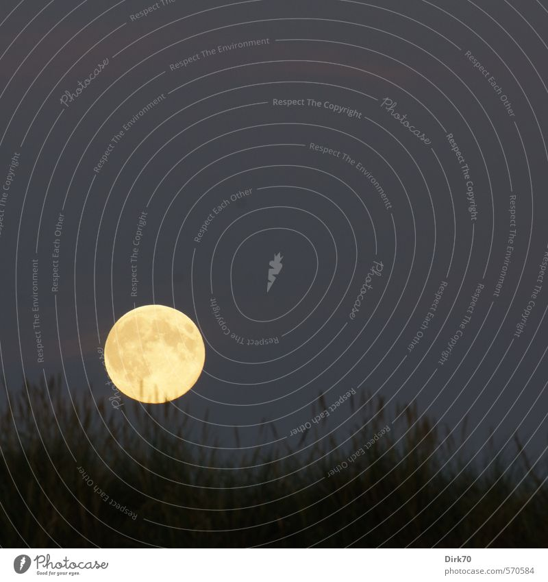 Vollmond über den Dünen Himmel Wolkenloser Himmel Nachthimmel Mond Sommer Schönes Wetter Pflanze Gras Dünengras Küste Dänemark Nordeuropa Kugel Kreis leuchten