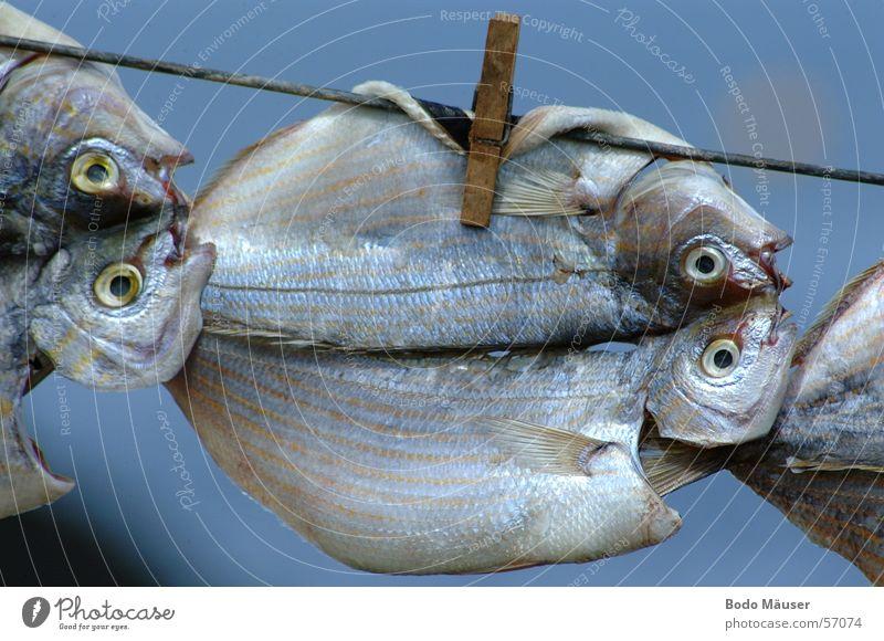 Fische trocknen an Leine Luft Fisch Fischereiwirtschaft trocknen Lanzarote Wäscheklammern